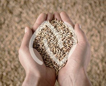 Mains tenant des germes de blé