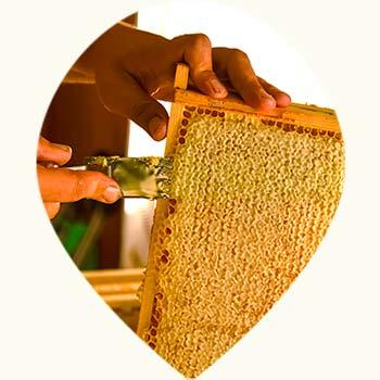 Récolte du miel d'une ruche